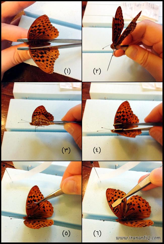 مراحل اتاله کردن پروانه ، تصویر شماره 1
